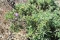 Lupinus albifrons kz01.jpg