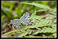 Lycaenidae (5683509189).jpg