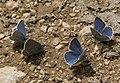 Lycaenidae butterflies - Mavi kelebekler 02.jpg