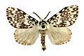 Lymantria monacha SLU.JPG