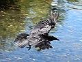 Ma - Corvus corone - 2.jpg