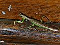 Madagascan Marbled Mantis (Polyspilota aeruginosa) (13924113482).jpg