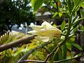 Magnolia × alba.JPG
