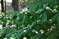 Magnolia officinalis Houpu Magnolia სამკურნალო მაგნოლია (2).JPG