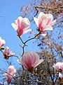 Magnolio de hoja caduca en el Jardín del Príncipe - panoramio.jpg