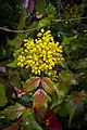 Mahonia aquifolium svet.jpg