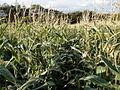 Maize crop - geograph.org.uk - 1006171.jpg