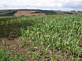 Maize crop near Coombe Farm, Long Compton - geograph.org.uk - 213713.jpg
