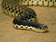 giant malagasy hognose snake l madagascariensis scienti