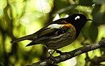 Male Stitchbird.jpg