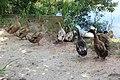 Mallard and Pekin ducks, General Coffee State Park.jpg