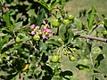 Malpighia glabra blossom and unripe fruits.jpg