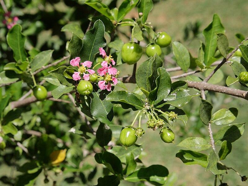 détail des fleurs et baies encore vertes de l'acerola