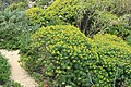 Malta - Mgarr - Ghain Tuffieha - Il-Karraba - Euphorbia dendroides 01 ies.jpg