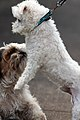 Maltese dog makes new friend (6225569997).jpg