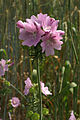 Malva-moschata Blütenstand 056 a.jpg
