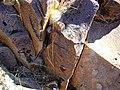 Mammillaria guelzowiana (5729372593).jpg