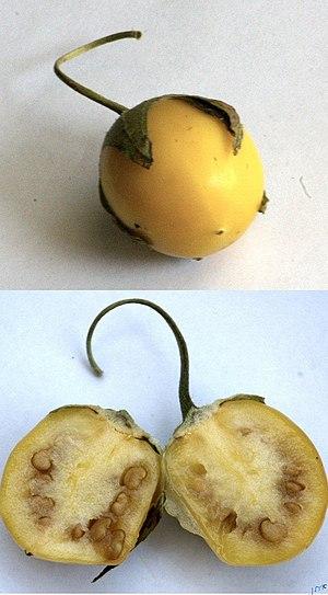 Mandragora autumnalis - Ripening fruit