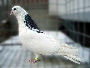Chistopolian Highflyer - Maned white