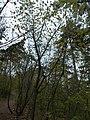 Manna ash, Tűzkő Hill Forest, 2017 Budaörs.jpg