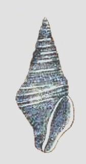<i>Maoritomella subalbula</i> Extinct species of gastropod