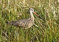 Marbled godwit on Seedskadee National Wildlife Refuge (34468819855).jpg