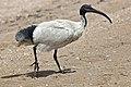 Margate Beach Ibis-1 (6224238512).jpg