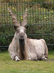 markhor in Pakistan