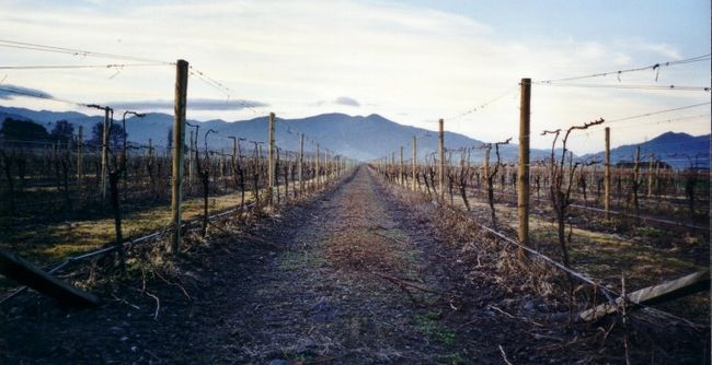 Sauvignon blanc vineyards in Marlborough, New Zealand, demonstrating restrictive pruning practices.