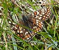 Marsh Fritillary. Euphydryas aurinia form scotica - Flickr - gailhampshire.jpg