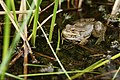 Marsh Frog (14128795177).jpg