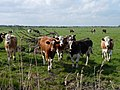 Marsh cattle at Haddiscoe, Norfolk - geograph.org.uk - 1305062.jpg