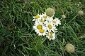Matricaria chamomilla, Asteraceae 03.jpg