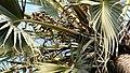 Medemia argun (fruits immatures) - Jardin de Nong-Nooch.jpg