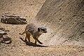 Meerkat (32605335755).jpg