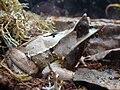 Megophrys nasuta.002 - Casa de las Ciencias.JPG