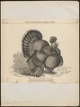 Meleagris gallopavo - 1870 - Print - Iconographia Zoologica - Special Collections University of Amsterdam - UBA01 IZ16900306.tif