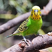 Green parrot with yellow head and yellow and black patterned wings