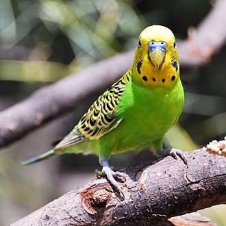 Budgerigar - Budgerigar at Fort Worth Zoo in Texas. The blue cere at the top of the beak shows that this is a male