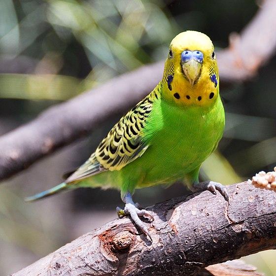560px-Melopsittacus_undulatus_-Fort_Worth_Zoo-8a-4c.jpg (560×560)