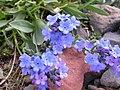 Mertensia alpina (7977044337).jpg