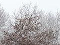 Met rijp bedekte kruin van een eik (Quercus).jpg