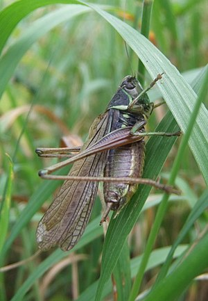 Roesel's bush-cricket - Macropterous form