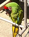 Military Macaw (Ara militaris) eating a walnut at the Cougar Mountain Zoo 2014.jpg