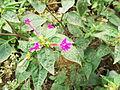 Mirabilis jalapa-1-yercaud-salem-India.JPG