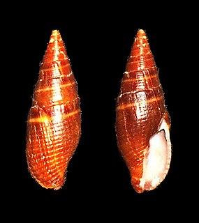 <i>Strigatella luctuosa</i> species of mollusc