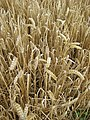 Mixed wheat and barley - geograph.org.uk - 908505.jpg