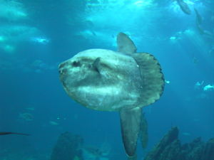The deep-diving ocean sunfish is the largest b...