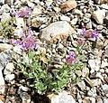 Monardella odoratissima ssp pallida 3.jpg