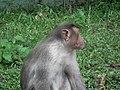 Monkey from Bannerghatta National Park 8560.JPG